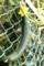盛りを過ぎて、フェンスに寄りかかる「キュウリ(胡瓜)」。(29,8,24)