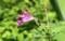Fm放送で話す、「ツリフネソウ(釣船草)」の花。(29.8.24)