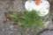 草取り、抜かれた「カヤツリグサ「蚊帳吊草)」など。