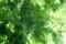「ゴーヤ」の「グリーンカーテン」(29.8.27)