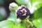 「紫玉・ムクゲ(木槿)」と思われる、木槿の蕾。(29.8.28)