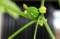 「緑のカーテン」・「沖縄雀瓜」に、待望の実。(29.8.28)