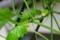 大きく伸びた「緑のカーテン・沖縄雀瓜」。」(29.8.28)