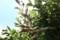 「アメリカシロヒトリ」が「カキ(柿)」の木に発生。(29.8.28)