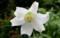 「タカサゴユリ」の花、真正面から…。(29.8.30)