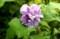 「ムクゲ(木槿)・紫玉(しぎょく)」が開花。(29.8.30)