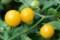 雨に濡れる「黄色のミニトマト」。(29.8.31)