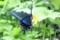 「ゴーヤの花」に訪れた「カラスアゲハ」。(29.8.31)