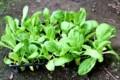 「白菜ポット苗」を定植。(29.8.31)