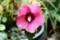 雨に濡れて美しい「ムクゲ(木槿)」の花。(29.9.6)