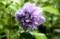 雨に濡れる、「紫玉・ムクゲ」の花びら。(29.9.6)