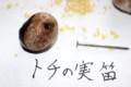 「トチの実笛」作り。(29.9.7)