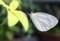 翅を休める「モンシロチョウ(紋白蝶)」(29.9.10)