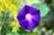 雨後の「マルバアサガオ(丸葉朝顔)」(29.9.10)