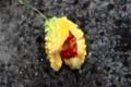 「ゴーヤ」が完熟、種子が露出。(29.9.12)