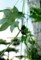 ネットに、「オキナワスズメウリ(沖縄雀瓜)」の蔓を誘引。(29.9.12)