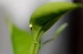 「クロアゲハ(黒揚羽)」が「ミカン(蜜柑)」に産卵。(29..9.13)