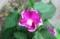 「ツルナシアサガオ(蔓無朝顏)」が開花。(29.9.14)