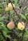 「ボケ(木瓜)」の実も熟して。(29.9.16)