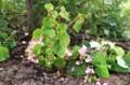 「賢治ガーデン」に追加植えした「シュウカイドウ(秋海棠)」(29.9.1