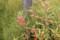 秋色の「ホウセンカ(鳳仙花)」、実も完熟…。(29.9.20)