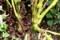 太くがっちりした「鳳仙花」の茎。(29.9.20)