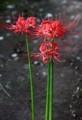 開花した、「ヒガンバナ(彼岸花)」の花。(29.9.23)
