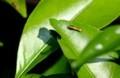 「クロアゲハ(黒揚羽)」の初齢幼虫が、ミカンの葉を食べる。(29.9.25)