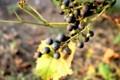夕日を浴びる「サンカクヅル(三角蔓)」・山葡萄。(29.9.25)