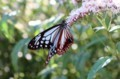 「アサギマダラ」蝶。(29.9.29)