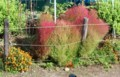 一気に進んだ、「コキア・ホウキグサ(箒草)」の紅葉。(29.9.30)
