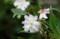 10月に花を着けた「ジュウガツザクラ(十月桜)」の花。(29.10.2)
