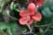 「クサボケ(草木瓜)」の返り咲き。(29.10.2)