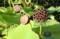 「大賀ハス」が結実、蜂の巣を連想させる「台(うてな)」。(29.10.3)