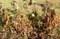 「ガンクイマメ(雁喰豆)」の収穫。(29.103)