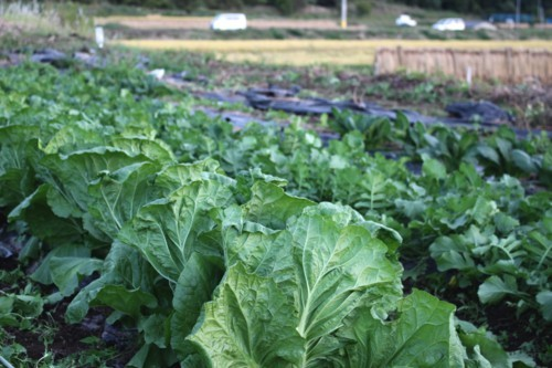 成長期の秋野菜。(29.10.4)