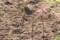「ヒガンバナ(彼岸花)」分球、植え付け。(29.10.4)