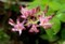 「ホトトギス(杜鵑草)」が「寒露」に咲いて。(29.10.8)