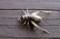 板塀に移った、「メスのエンマコオロギ(閻魔蟋蟀)」。(29.10.10)