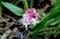 咲き始めた「キチジョウソウ(吉祥草)」の花。(29.10.10)