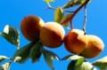 青空に映える、「蜂屋柿」。(29.10.10)