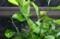 「黒揚羽」、3匹の幼虫が、「ミカン」の葉に張り付いて。(29.10.10)