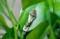 「鳥の糞」に似せてのカモフラージュ。(29.10.11)