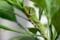 終齢幼虫は、「ミカンの葉」に似せてのカモフラージュ。(29..10.11)