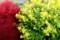 「泡黄金菊」の黄色と、紅葉の「コキア・箒草」のコントラスト。(29.10