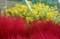 見事なコントラスト、「泡黄金菊」と「コキア・箒草」。(29.10.12)