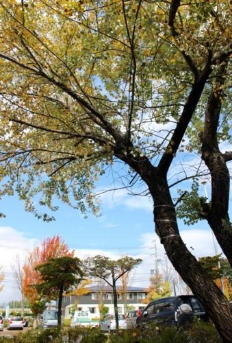 葉を散らし始めた、佐久市立図書館玄関わき・「ギンドロ」の木。(29.10