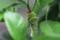 ちょっぴり「臭角」を出した、「クロアゲハ」の終齢幼虫。(29.10.13)