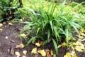 「吉祥草」の周りの落ち葉が雨に濡れて…。(29.10.19)