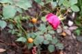 雨に歌える、「賢治のバラ・グルスアンテプリッツ」。(29.10.19)